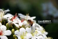桐花祭賞花步道