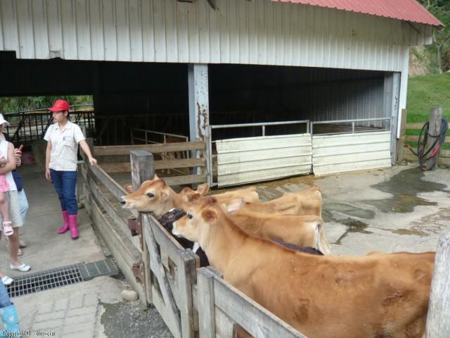 飛牛牧場-可愛的牛牛