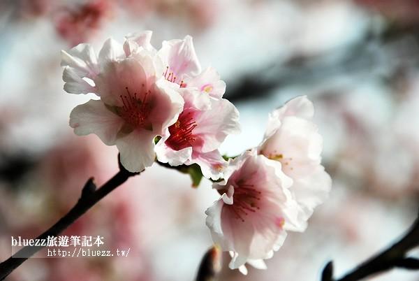 新北櫻花季2015-00.jpg