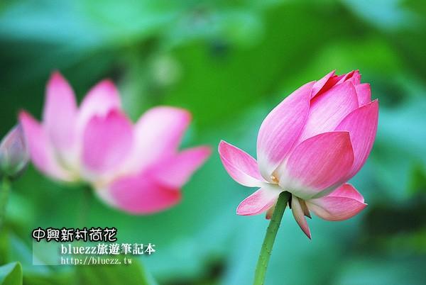 中興新村荷花-0011.jpg