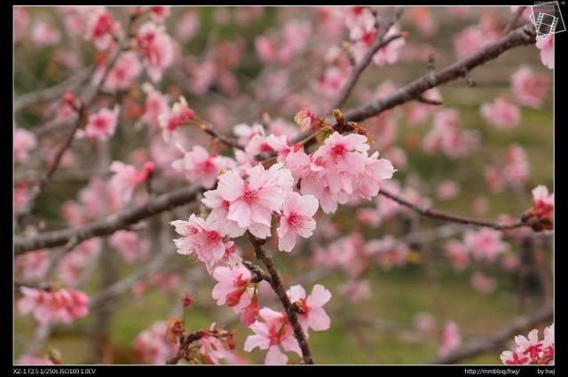 石馬公園櫻花424011_459744927407263_112232938_n.jpg