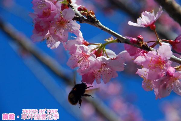 【南投櫻花】草坪頭櫻花季-賞嫣紅花道