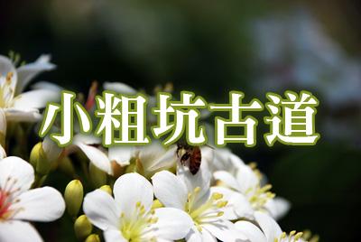 小粗坑古道桐花-小粗坑古道.jpg