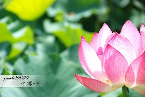 中興新村-探訪荷花之美-ap_F23_20080617110201547.jpg