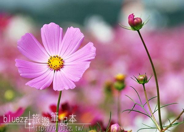 97新社花海節-000DSC_0899-2.jpg