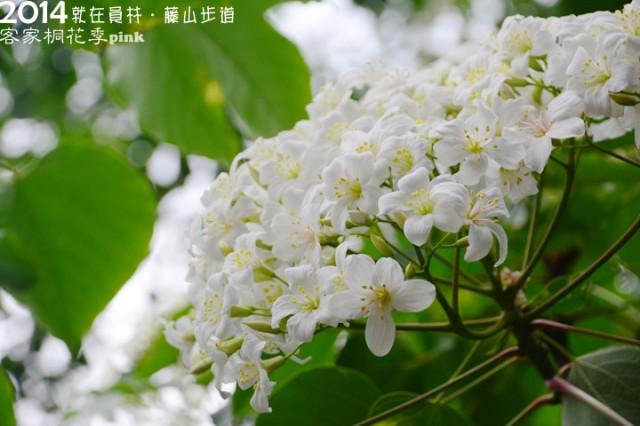 【2014客家桐花季】就是要到「員林藤山」賞桐趣~-0DSC_4584.jpg