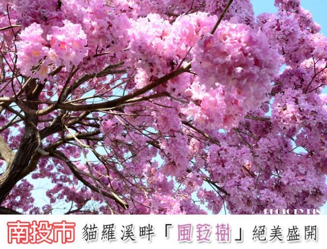 貓羅溪畔風鈴樹-1.jpg