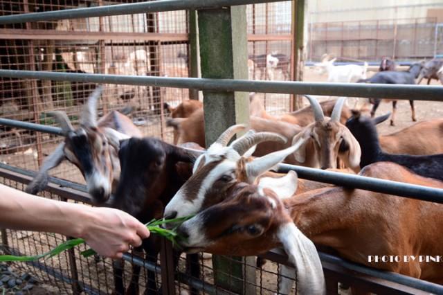 台中益健乳羊牧場-1DSC_4245.jpg