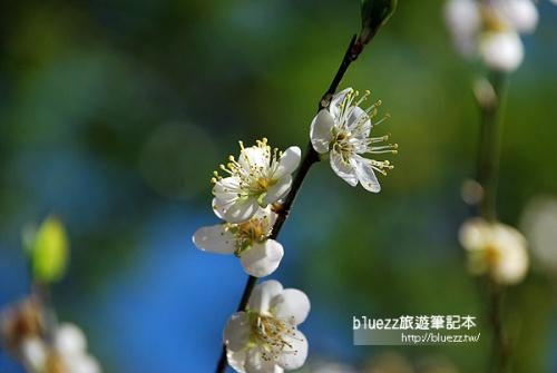 烏松崙賞梅-00DSC_0090.jpg