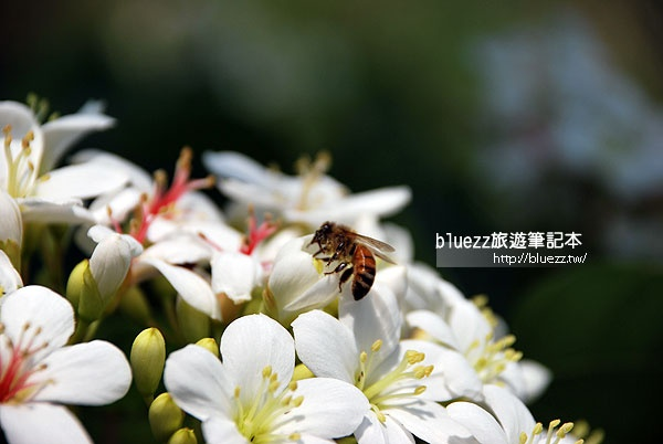 桐花祭賞花步道-009.jpg