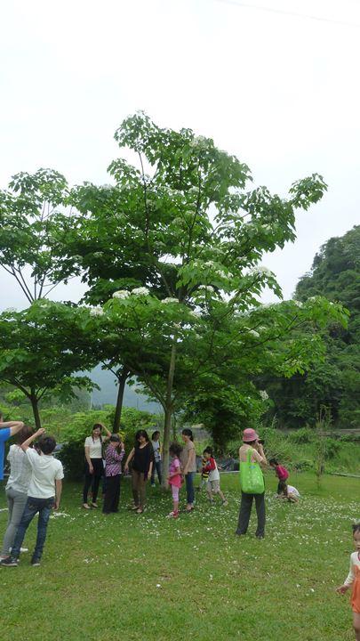 阿喜桂花園桐花 P1070472.JPG