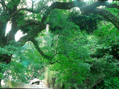 迴音谷內牛樟巨木