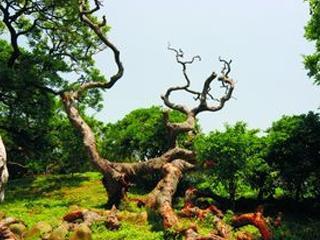 國寶植物 鳳坑村朴樹林