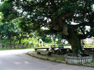 國寶植物‧鳳坑村朴樹林