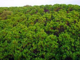 牛埔溪紅樹林景觀區