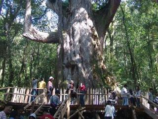 司馬庫斯部落 巨木群