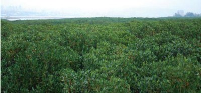 大片的水筆仔純林,綠意盎然。