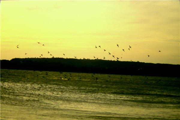 龍鑾潭的雁鴨群進行著北返前的飛行練習 / 周明雄,墾丁國家公園管理處提供