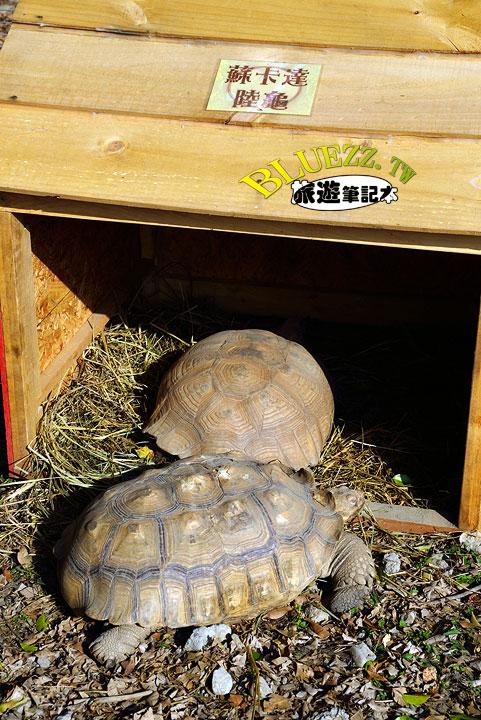 百果山克林姆莊園 32.蘇卡逹陸龜