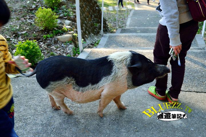 百果山克林姆莊園 34.麝香豬