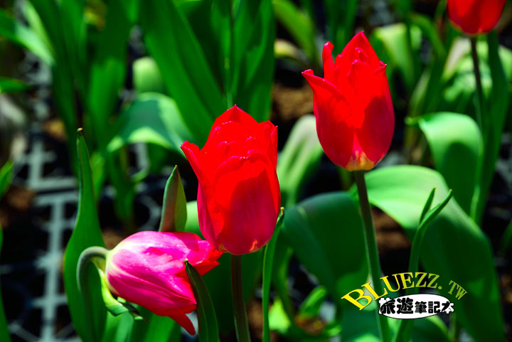 中社觀光花市 23.jpg