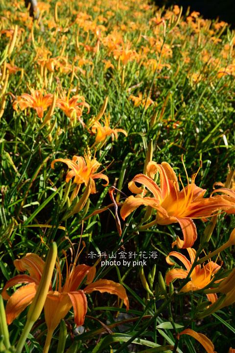 【花蓮景點】赤科山金針花季2014,黃澄澄的花海現正盛開中…-DSC_1821.jpg