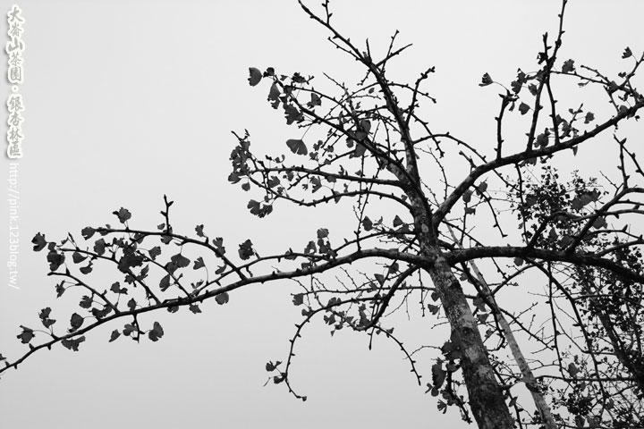【南投景點】大崙山觀光茶園,黃澄澄的銀杏林區亮麗登場!-DSC_7104.jpg