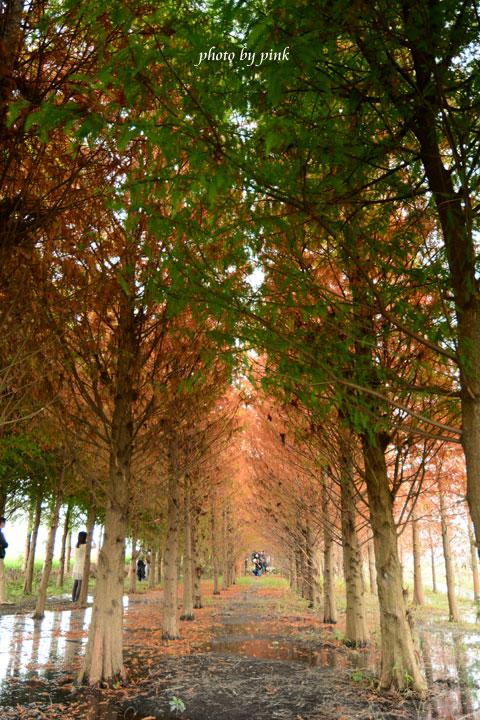 【霧峰景點】秘境~不用飛國外,也能看到美翻天的「落羽松林」,火紅上鏡!-DSC_8505.jpg