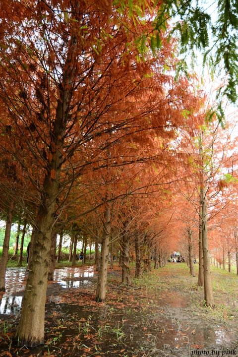 【霧峰景點】秘境~不用飛國外,也能看到美翻天的「落羽松林」,火紅上鏡!-DSC_8529.jpg