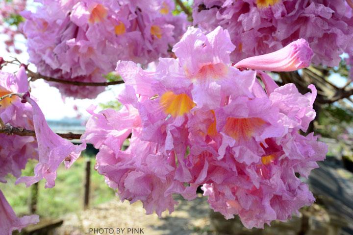 【南投景點】貓羅溪畔絕美「風鈴樹」粉紅盛開中-DSC_4090.jpg
