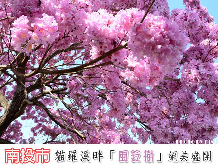 【南投景點】貓羅溪畔絕美「風鈴樹」粉紅盛開中-1.jpg