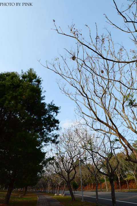 2015暨南大學櫻花季(花賞茶事)。火紅的山櫻花現正盛開中。-DSC_4478.jpg