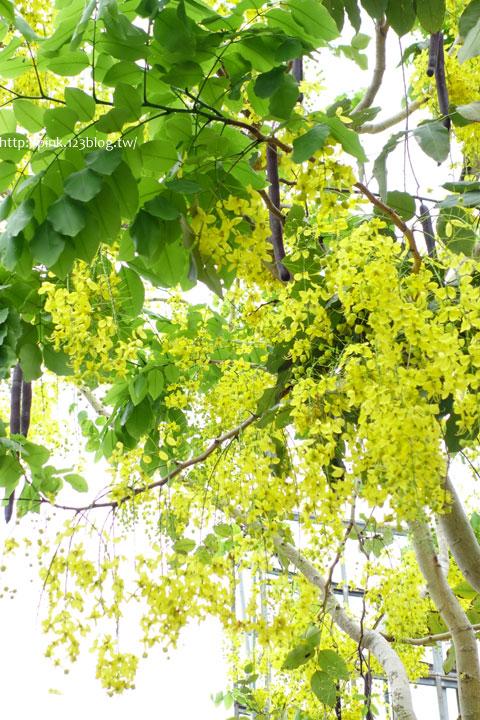 最美的黃金大道「中投公路阿勃勒」美麗盛開中…-DSC00479.jpg