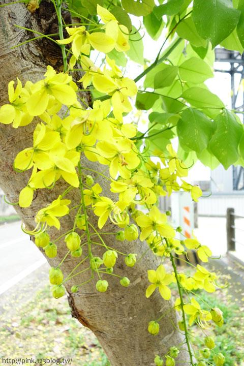 最美的黃金大道「中投公路阿勃勒」美麗盛開中…-DSC00481.jpg