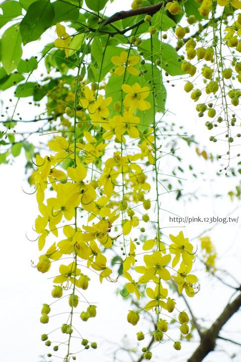 最美的黃金大道「中投公路阿勃勒」美麗盛開中…-DSC00540.jpg