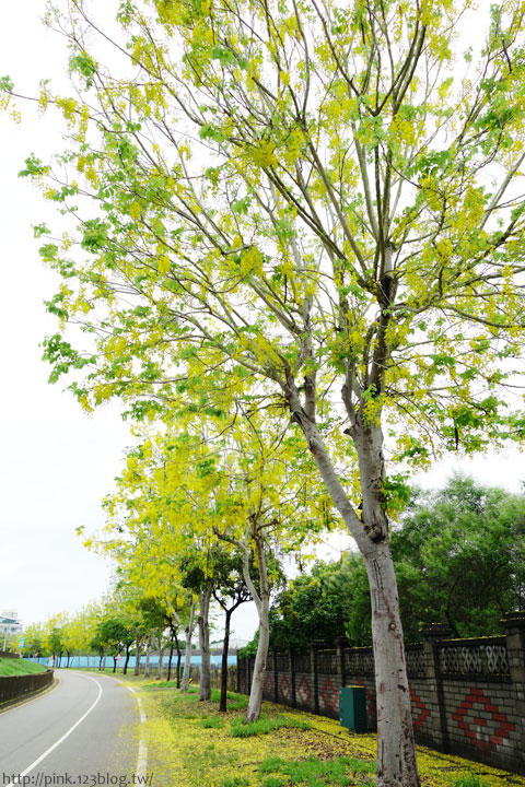 最美的黃金大道「中投公路阿勃勒」美麗盛開中…-DSC00544.jpg