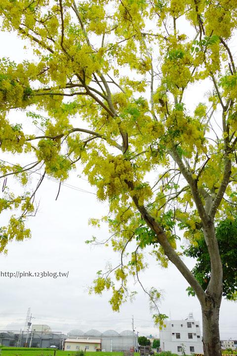 最美的黃金大道「中投公路阿勃勒」美麗盛開中…-DSC00558.jpg