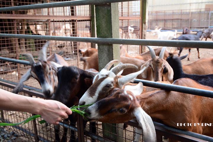 【台中景點】益健乳羊牧場.超有趣的餵羊初體驗!-DSC_4245.jpg