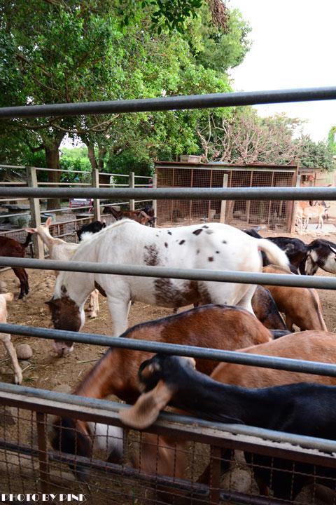 【台中景點】益健乳羊牧場.超有趣的餵羊初體驗!-DSC_4266.jpg