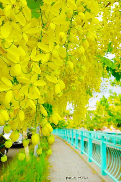 【南投阿勃勒】南投市福崗路上下起了黃金雨,季節限定阿勃勒美麗盛開中。-DSC03071.jpg