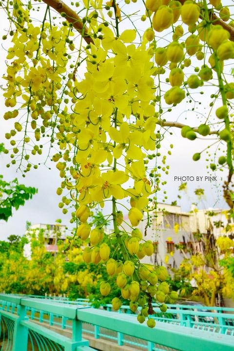 【南投阿勃勒】南投市福崗路上下起了黃金雨,季節限定阿勃勒美麗盛開中。-DSC03096.jpg