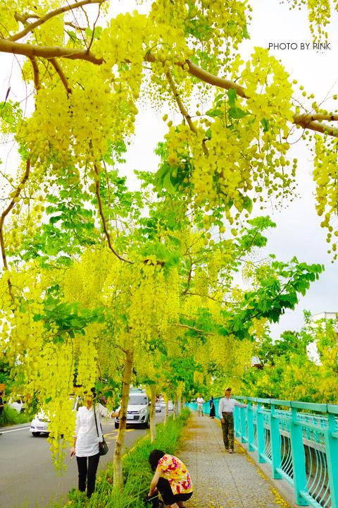 【南投阿勃勒】南投市福崗路上下起了黃金雨,季節限定阿勃勒美麗盛開中。-DSC03099.jpg