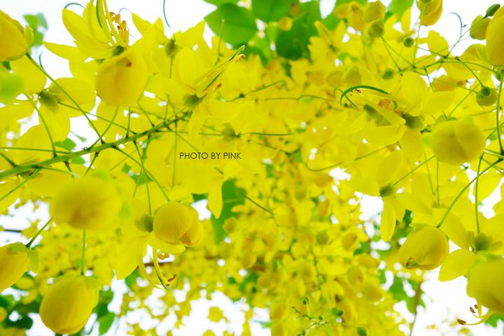 【南投阿勃勒】南投市福崗路上下起了黃金雨,季節限定阿勃勒美麗盛開中。-DSC03146.jpg