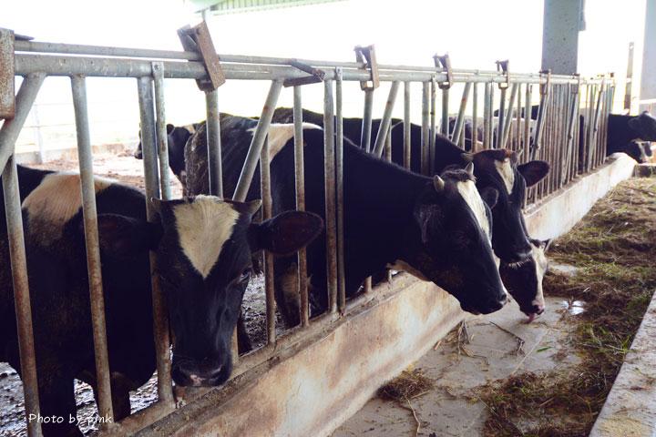 【彰化秀水景點】泳霖牧場。小規模牧場、品嚐牛乳製品、餵食小牛體驗,親子同遊好去處!-DSC_8727.jpg