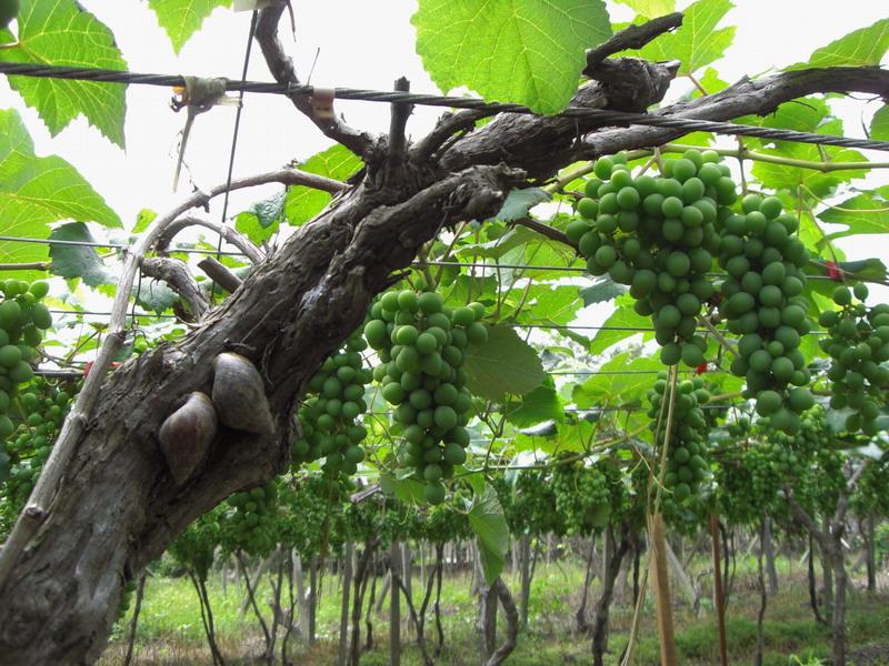 蘭輝酒莊-果樹