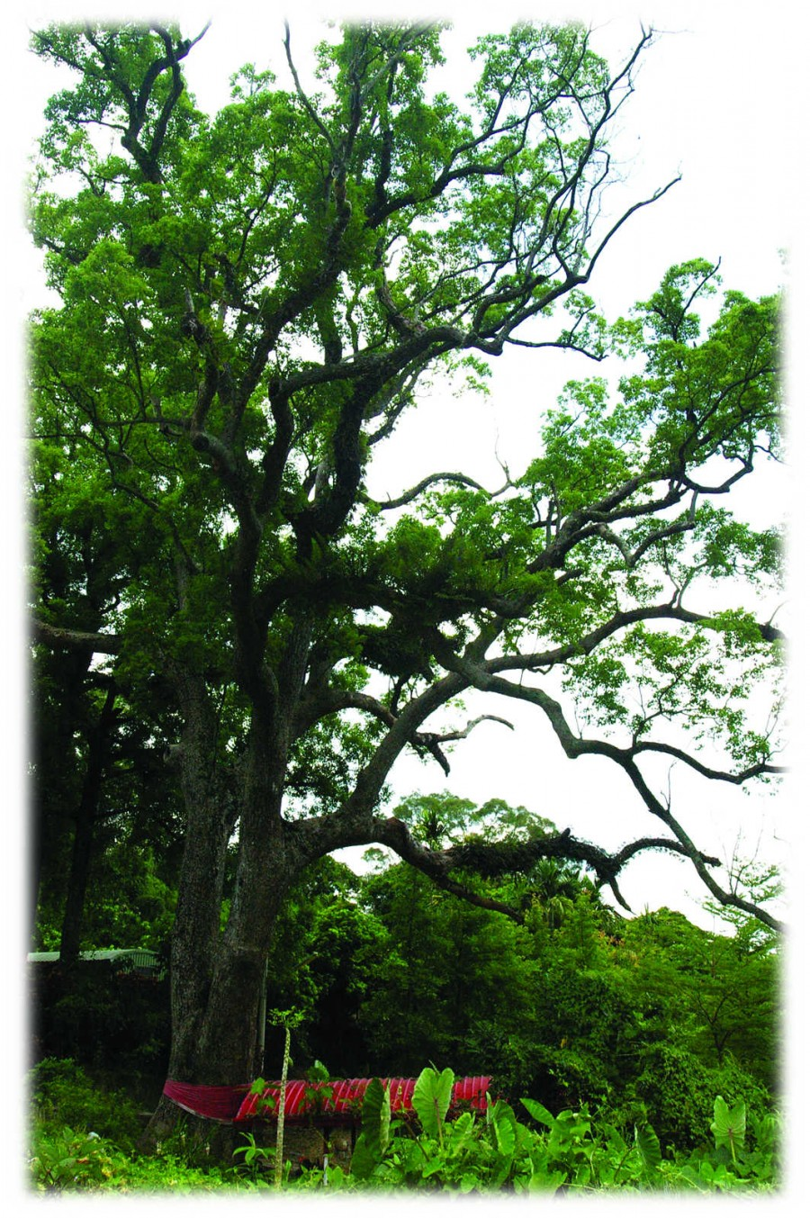 仁和大樟樹
