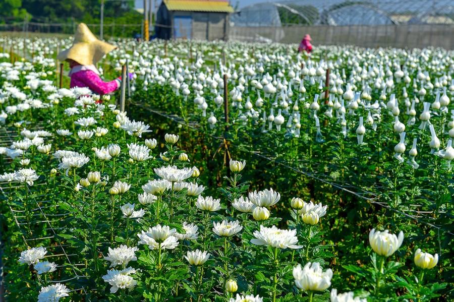 田尾公路花園白色花田